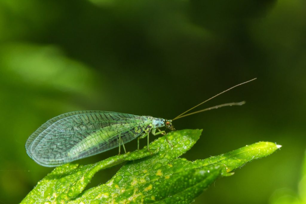 Beneficial Insects for Gardens